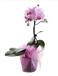 1 dal pembe orkide saksı çiçeği  Uşak kaliteli taze ve ucuz çiçekler
