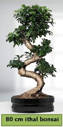 80 cm özel saksıda bonsai bitkisi  Uşak çiçekçi telefonları
