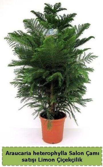 Salon Çamı Satışı Araucaria heterophylla  Uşak çiçek satışı