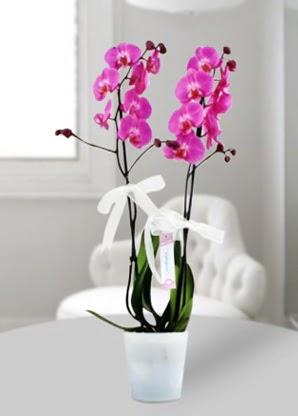 Çift dallı mor orkide  Uşak çiçekçiler