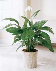 Uşak online çiçek gönderme sipariş  spatilyum ithal büyük boy