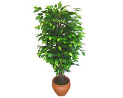 Ficus Benjamin 1,50 cm   Uşak anneler günü çiçek yolla