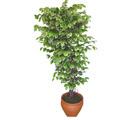 Ficus özel Starlight 1,75 cm   Uşak cicek , cicekci