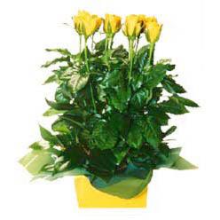 11 adet sari gül aranjmani  Uşak online çiçekçi , çiçek siparişi