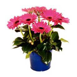 vazo içerisinde gerbera çiçekleri   Uşak online çiçek gönderme sipariş