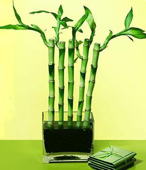 Uşak anneler günü çiçek yolla  Good Harmony Lucky Bamboo camda