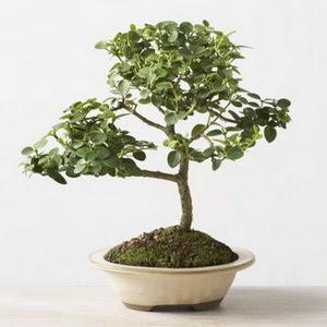 ithal bonsai saksi çiçegi  Uşak çiçek online çiçek siparişi