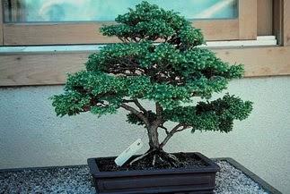 ithal bonsai saksi çiçegi  Uşak 14 şubat sevgililer günü çiçek