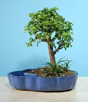 ithal bonsai saksi çiçegi  Uşak çiçekçiler