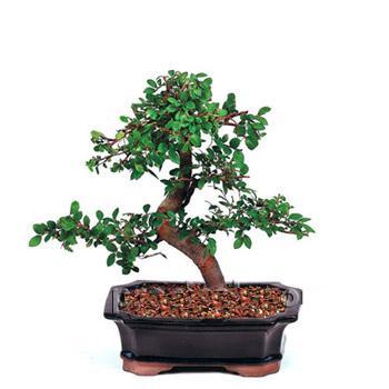 ithal bonsai saksi çiçegi  Uşak çiçek siparişi vermek