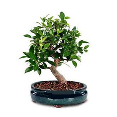 ithal bonsai saksi çiçegi  Uşak çiçek siparişi sitesi