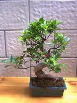 ithal bonsai saksi çiçegi  Uşak hediye sevgilime hediye çiçek