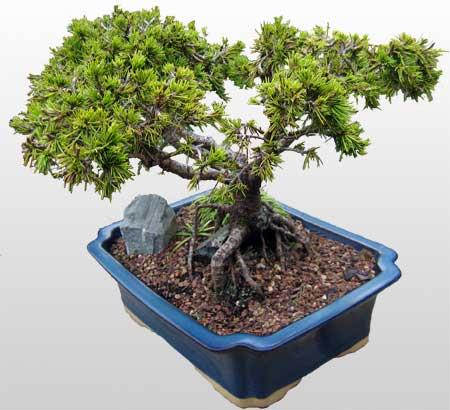 ithal bonsai saksi çiçegi  Uşak çiçekçi mağazası