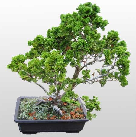 ithal bonsai saksi çiçegi  Uşak İnternetten çiçek siparişi