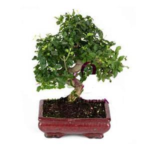 ithal bonsai saksi çiçegi  Uşak anneler günü çiçek yolla