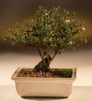 ithal bonsai saksi çiçegi  Uşak çiçek mağazası , çiçekçi adresleri