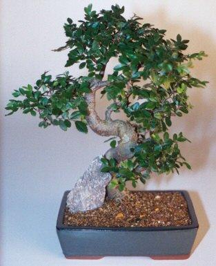 Uşak çiçek gönderme sitemiz güvenlidir  ithal bonsai saksi çiçegi  Uşak çiçek siparişi sitesi