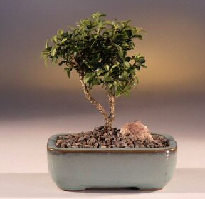Uşak çiçek yolla  ithal bonsai saksi çiçegi  Uşak internetten çiçek satışı