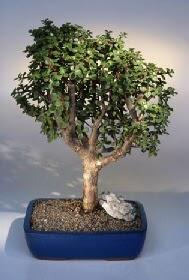 Uşak çiçek gönderme  ithal bonsai saksi çiçegi  Uşak çiçekçiler