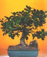 Uşak çiçekçi telefonları  ithal bonsai saksi çiçegi  Uşak internetten çiçek siparişi