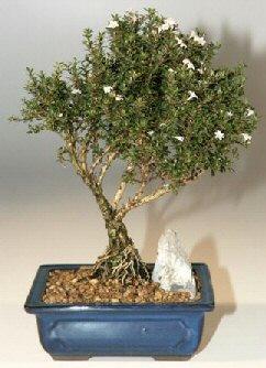 Uşak çiçek , çiçekçi , çiçekçilik  ithal bonsai saksi çiçegi  Uşak online çiçek gönderme sipariş