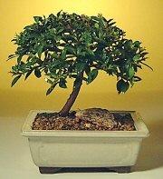 Uşak ucuz çiçek gönder  ithal bonsai saksi çiçegi  Uşak cicek , cicekci