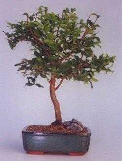 Uşak ucuz çiçek gönder  ithal bonsai saksi çiçegi  Uşak anneler günü çiçek yolla