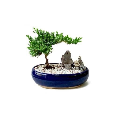 ithal bonsai saksi çiçegi  Uşak çiçek gönderme