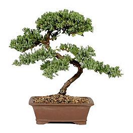 ithal bonsai saksi çiçegi  Uşak çiçek gönderme sitemiz güvenlidir