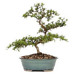 Uşak İnternetten çiçek siparişi  ithal bonsai saksi çiçegi  Uşak çiçek gönderme sitemiz güvenlidir