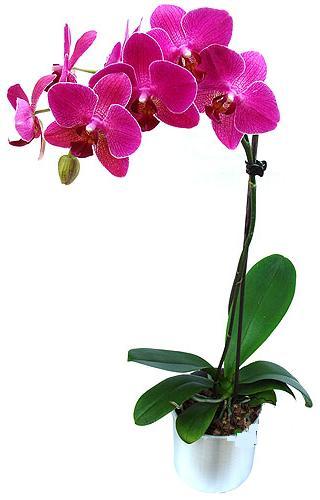 Uşak çiçekçi mağazası  saksi orkide çiçegi