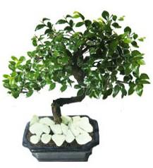 9 yasinda Bonsai agaci  Uşak yurtiçi ve yurtdışı çiçek siparişi