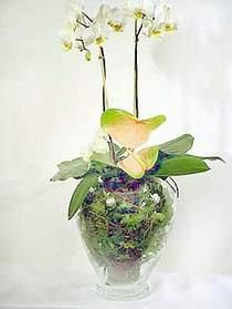 Uşak çiçek satışı  Cam yada mika vazoda özel orkideler