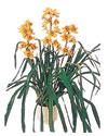 Uşak çiçekçiler  Orchiede ithal büyük boy saksi