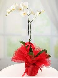 1 dal beyaz orkide saksı çiçeği  Uşak yurtiçi ve yurtdışı çiçek siparişi