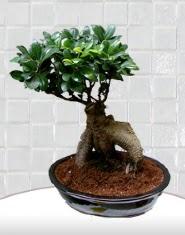 saksı çiçeği japon ağacı bonsai  Uşak kaliteli taze ve ucuz çiçekler