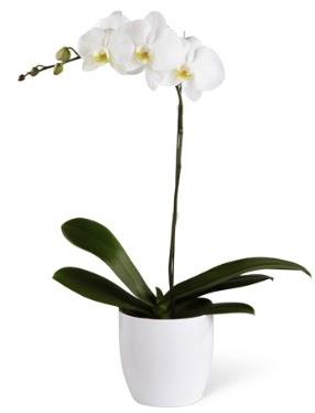 1 dallı beyaz orkide  Uşak 14 şubat sevgililer günü çiçek