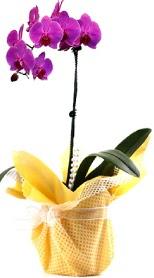 Uşak çiçek siparişi sitesi  Tek dal mor orkide saksı çiçeği