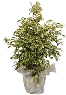 Orta boy alaca benjamin bitkisi  Uşak internetten çiçek satışı