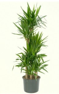 7 li yucca saksı bitkisi  Uşak çiçek servisi , çiçekçi adresleri