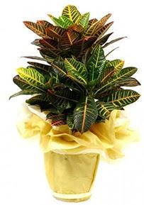 Orta boy kraton saksı çiçeği  Uşak 14 şubat sevgililer günü çiçek