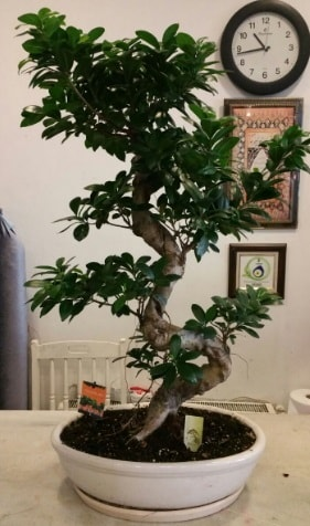 100 cm yüksekliğinde dev bonsai japon ağacı  Uşak İnternetten çiçek siparişi