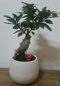 Bonsai japon ağacı saksı çiçeği  Uşak çiçek gönderme sitemiz güvenlidir