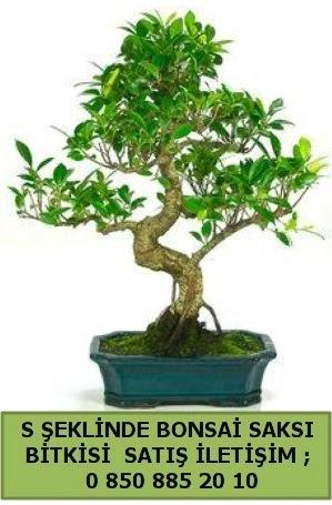 İthal S şeklinde dal eğriliği bonsai satışı  Uşak çiçek gönderme