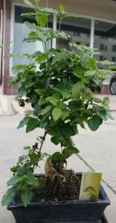 Bonsai japon ağacı saksı bitkisi  Uşak çiçek siparişi vermek