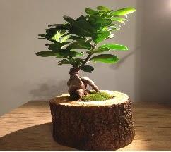 Doğal kütükte Bonsai japon ağacı satışı  Uşak internetten çiçek satışı