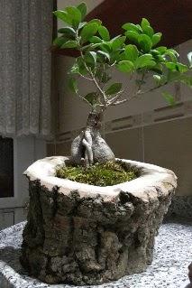 Ahşap kütük içerisinde ginseng bonsai  Uşak internetten çiçek siparişi