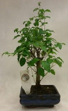 Minyatür bonsai japon ağacı satışı  Uşak çiçekçi telefonları