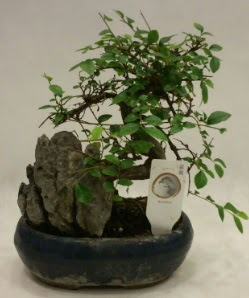 İthal 1.ci kalite bonsai japon ağacı  Uşak çiçek satışı