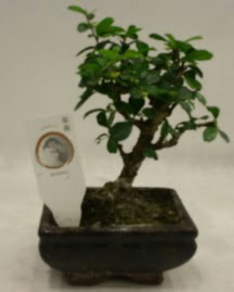 Küçük minyatür bonsai japon ağacı  Uşak çiçek gönderme